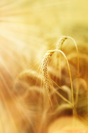 Ear of golden wheat in the organic agriculture with sun beams and bokeh