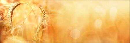 Golden wheat ears in autumn with bokeh for a rural background Stock fotó