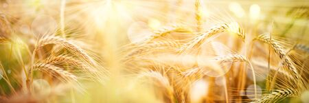 Golden wheat ears with sunbeams and bokeh for a rural Background Stock fotó
