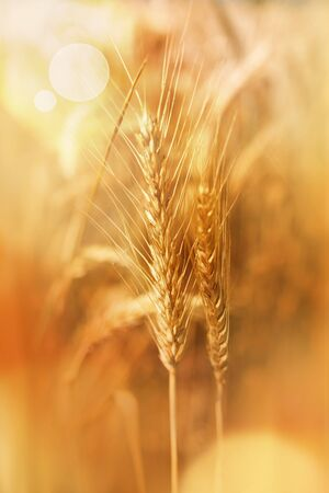 Wheat ears in a golden autumn scenery with bokeh and short depth of field Stock fotó