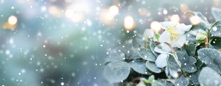 Natural winter scenery with snowflakes and frosty white hellebore. Festive golden bokeh for a holiday concept. Background with short depth of field and space for text. Stock Photo