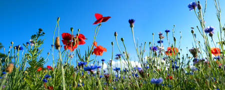 Colorful natural flower meadows landscape with blue sky in summer. Habitat for insects, wildflowers and wild herbs on a flower field. Background panorama with short depth of focus and space for text. Standard-Bild