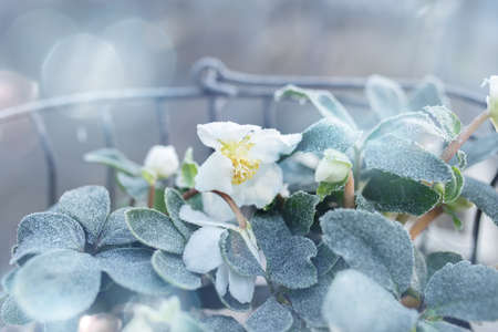 Christmas roses in basket on a frosty winter day with tender bokeh for festive greetings. Background with short depth of field for a christmas concept. Close-up.