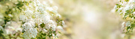 White blooming spirea shrub in sunny spring. Seasonal background with light bokeh and and short depth of field. Space for text.