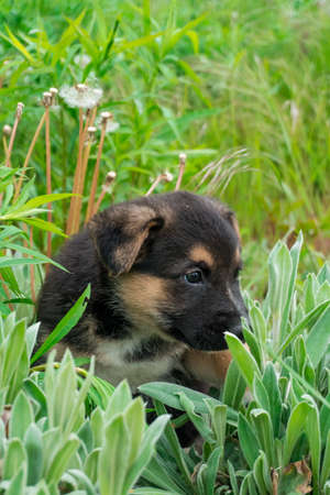 Cute, shy, pinto puppy enjoy his time in the green garden full of dandelions.