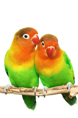 inseparable: Pair of little lovebirds