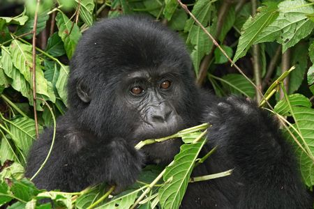 Eastern mountain gorilla  in rainforest of Uganda Stock Photo