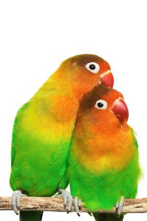 roost: Pair of little lovebirds