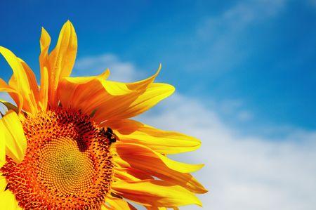 Sunflowers on blue sky background photo