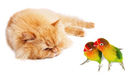 loafer: Lazy cat and two lovebirds Stock Photo