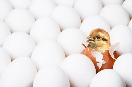 surpass: New-born chick Stock Photo