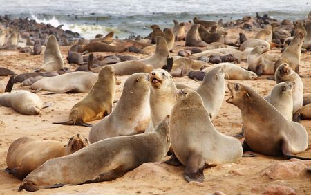 rote: Colony of seals