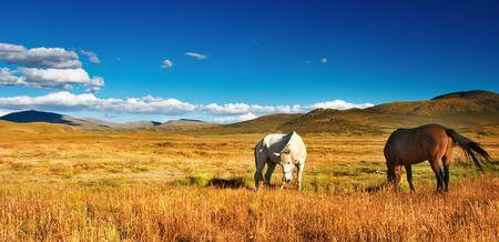 Grazing horses at mountain grassland