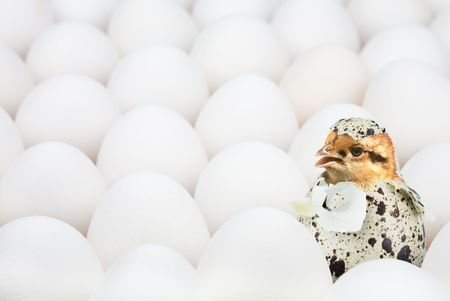 surpass: New-born chick in unusual egg among ordinary another eggs