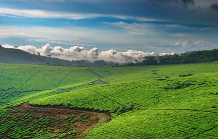 African landscape. Tea plantation in Uganda