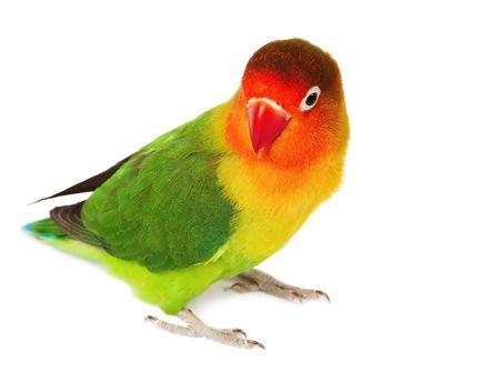 Lovebird agapornis-fischeri isolated on white  Stock Photo