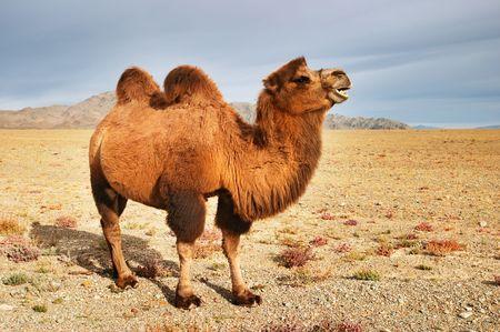 Big camel in mongolian desert  Stock Photo