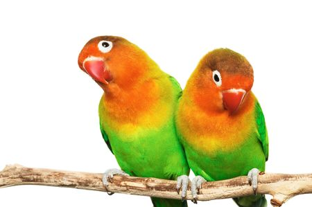inseparable: Pair of lovebirds agapornis-fischeri isolated on whiter Stock Photo