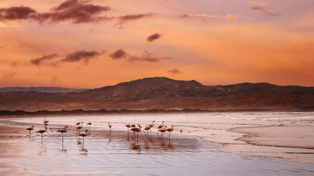 luderitz: Flamingoes on the beach, Atlantic coast of Namibia