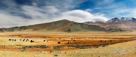 dry cow: Grazing yaks in mongolian desert