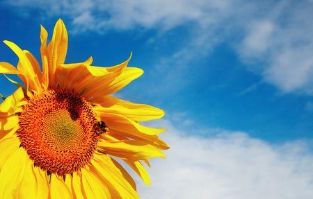 Sunflower against blue sky background  photo