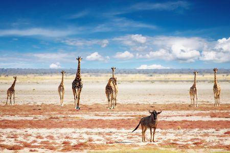 jirafa: Connochaetes taurinus y jirafas en la sabana africana, el PN Etosha, Namibia