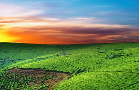 Tea plantation in Uganda, colorful dawn  Stock Photo