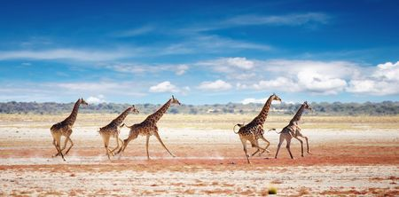 Herd of giraffes in african savanna, Etosha N.P., Namibia