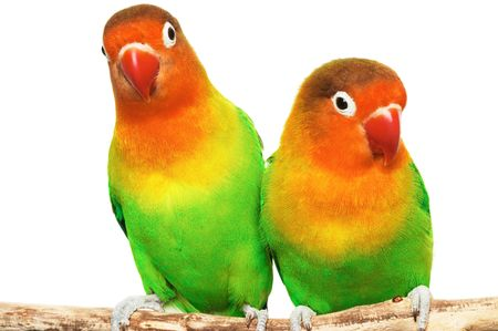 inseparable: Pair of lovebirds agapornis-fischeri isolated on whiter Stock Photo
