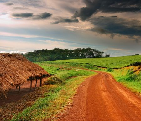 Uganda: Tea plantation in Uganda, rainy season