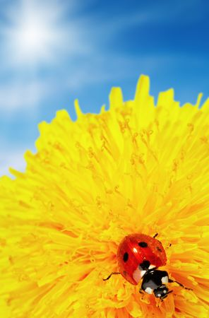 Yellow flower with ladybug and blue sky Stock Photo - 2775672