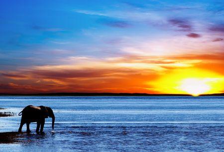 chobe national park: Drinking elephant, Chobe national park, Botswana