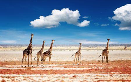 Kudde giraffen, Etosha National Park, Namibië