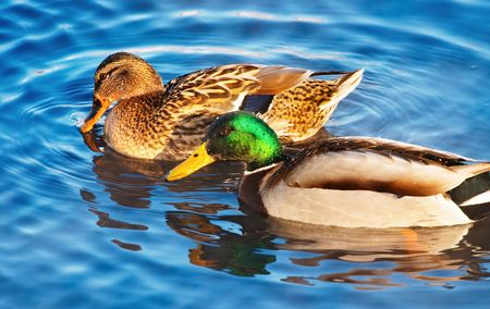 reproduction animal: Couple of ducks on the lake Stock Photo