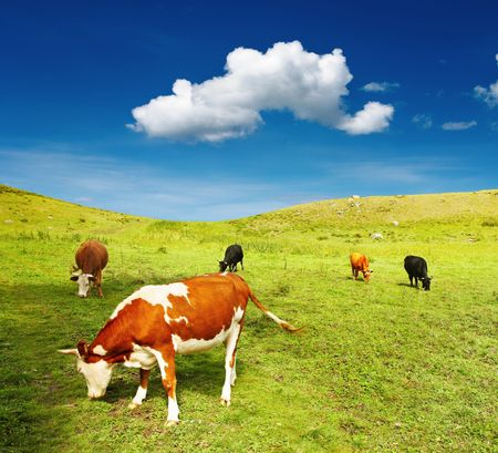 Beautiful view with grazing cows and blue sky