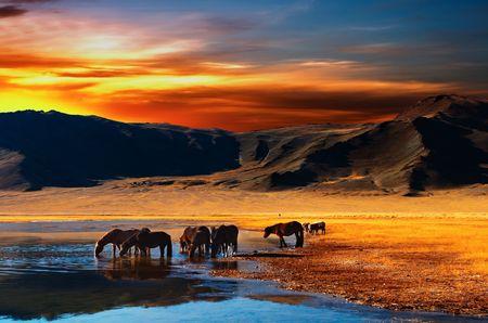 caballo bebe: Potable en los caballos a la salida del sol del desierto mongol