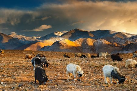 Tibetan landscape with grazing sheep and goats   photo