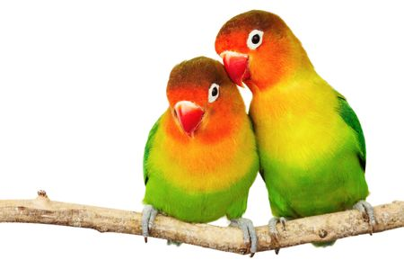 inseparable: Pair of lovebirds agapornis-fischeri isolated on white