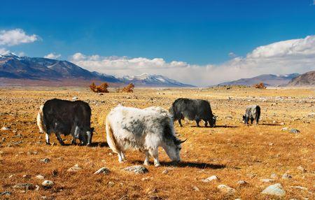 nomadism: Grazing yaks in mongolian desert