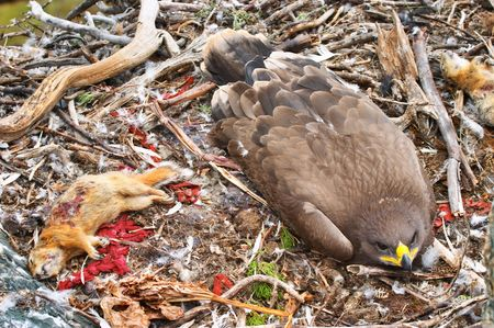 Young tawny eagle (Aquila rapax) in the nest photo