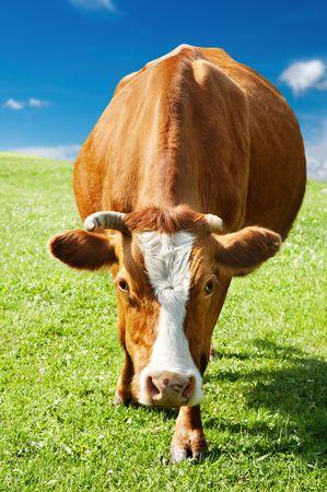 melker: Landelijke scène met grazende koeien en de blauwe hemel