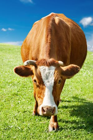 Rural scene with grazing cow and blue sky Stock Photo - 3333894