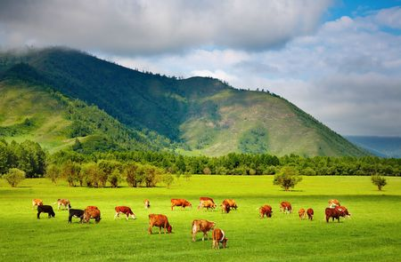 Mountain grassland with grazing cows  Stock Photo