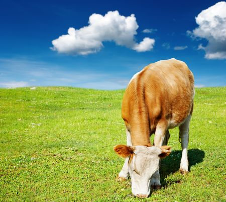 Rural landscape with grazing cow and blue sky Stock Photo