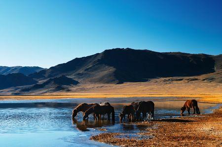 caballo bebe: Beber caballos en desierto mongol