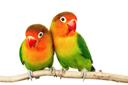 Pair of lovebirds agapornis-fischeri isolated on whiter Stock Photo