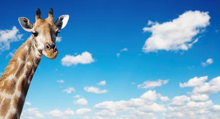 firmament: Giraffes neck against blue sky background