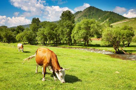 melker: Plattelands landschap met grazende koeien  Stockfoto