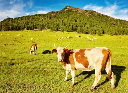 Mountain grassland with grazing cows Stock Photo - 3536891