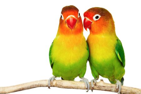 roost: Pair of lovebirds agapornis-fischeri isolated on white